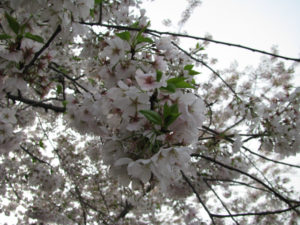 Flashback Friday: Washington, D.C. Cherry Blossoms