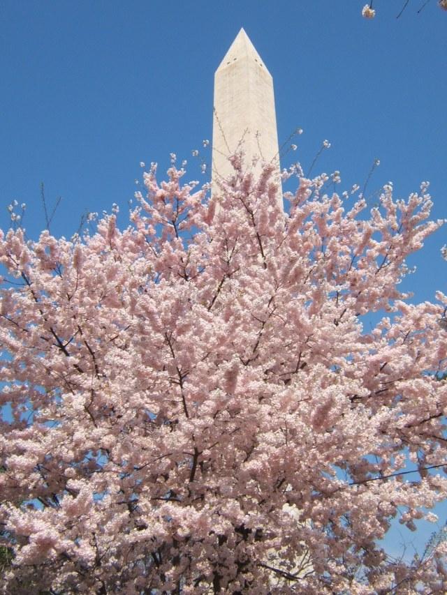 Cherry tree with washington monument