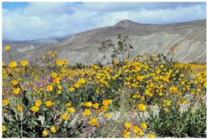 Wildflowers in the Desert: Borrego Springs, California – March 8, 2019
